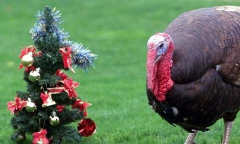 turkey-xmas460